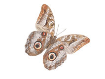 Volo del lepidottero del gufo Fotografia Stock
