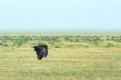 Volo del nipalensis di L'Aquila o dell'aquila rapace immagine stock libera da diritti