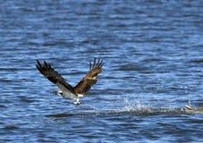 Volo del Osprey al disopra della superficie Fotografie Stock