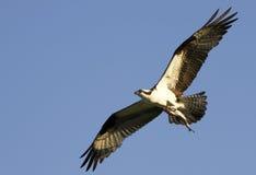 Volo del Osprey con i pesci in matrici Immagini Stock
