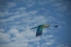 Volo del pappagallo Fotografie Stock