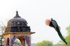Volo del pavone accanto alla struttura indiana antica Fotografie Stock