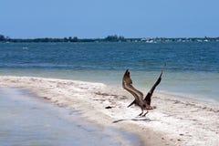 Volo del pellicano Fotografie Stock