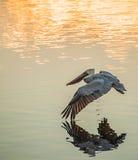 Volo del pellicano Fotografia Stock