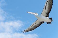 Volo del pellicano ambientale Immagine Stock