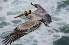 Volo del pellicano del Brown, California fotografia stock