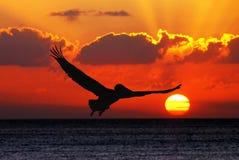 Volo del pellicano nel tramonto Fotografia Stock Libera da Diritti