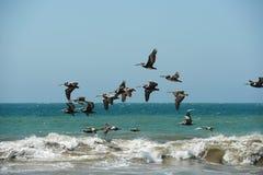 Volo del pellicano nella formazione in Mancora, Perù Fotografia Stock Libera da Diritti
