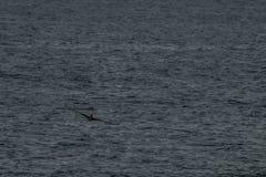 volo del pellicano sulle spiagge del Guatemala fotografia stock