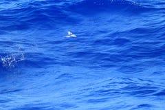 Volo del pesce volante sul mare Fotografia Stock