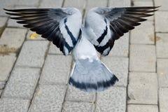 Volo del piccione fotografia stock