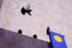 Volo del piccione Immagine Stock