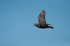 Volo del piccione sul cielo blu Immagini Stock