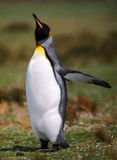 Volo del pinguino