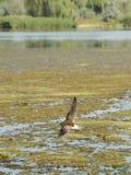 Volo del piovanello Fotografie Stock Libere da Diritti