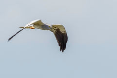 Volo del predatore di Montagus Immagine Stock
