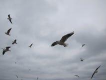Volo del tizio dei gabbiani su un cielo del fondo fotografie stock