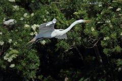 Volo dell'airone bianco maggiore contro gli arbusti della colonia di corvi, Florida Fotografia Stock
