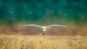 Volo dell'airone bianco maggiore verso il fotografo immagini stock