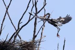 Volo dell'airone della costruzione del nido dentro con un bastone Fotografie Stock