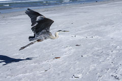 Volo dell'airone di grande azzurro Fotografie Stock Libere da Diritti