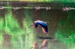 Volo dell'airone di grande azzurro Fotografia Stock