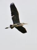 Volo dell'airone sul chiaro cielo Fotografia Stock