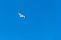 Volo dell'albatro Fotografia Stock
