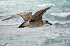 Volo dell'albatro sopra la superficie regolare del mare. Immagini Stock