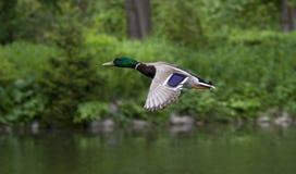 Volo dell'anatra Fotografia Stock Libera da Diritti
