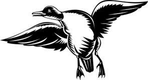 Volo dell'anatra del Goldeneye Fotografie Stock Libere da Diritti