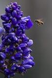 Volo dell'ape Fotografie Stock Libere da Diritti