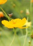 Volo dell'ape del miele Fotografia Stock Libera da Diritti