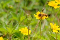 Volo dell'ape del miele e polline di raccolta sul fiore giallo Fotografia Stock