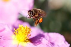 Volo dell'ape del miele per raccogliere polline vicino al verticale del fiore fotografia stock