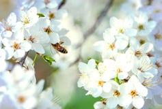 Volo dell'ape del miele su Cherry Blossom in primavera Immagine Stock