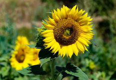 Volo dell'ape del miele verso la fioritura del girasole Fotografia Stock Libera da Diritti