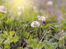 Volo dell'ape fra i fiori che cercano polline fotografia stock