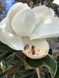 volo dell'ape intorno ad un fiore della magnolia Fotografia Stock Libera da Diritti