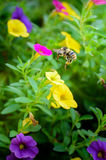 Volo dell'ape intorno ai fiori colorati Immagini Stock