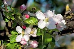 Volo dell'ape sopra il fiore della sorgente immagine stock