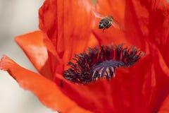 Volo dell'ape sul papavero di cereale fotografia stock