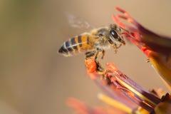 Volo dell'ape verso il fiore dell'aloe Fotografia Stock