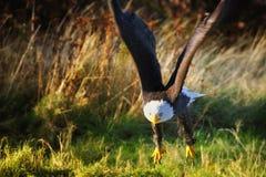 Volo dell'aquila calva (leucocephalus del Haliaeetus) fotografie stock libere da diritti