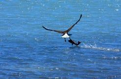 Volo dell'aquila calva via con i grandi pesci Fotografie Stock Libere da Diritti