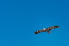 Volo dell'aquilone del falco in cielo blu Immagini Stock