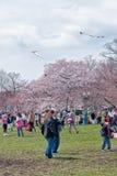 Volo dell'aquilone nella stagione della ciliegia, parco pubblico del Washington DC Fotografia Stock