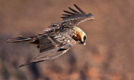 Volo dell'avvoltoio barbuto Fotografia Stock Libera da Diritti