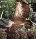 Volo dell'avvoltoio di Griffon in una sosta Immagini Stock Libere da Diritti