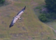 Volo dell'avvoltoio, provencale di Drome, Francia Fotografie Stock